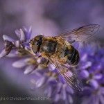 """Female Hoverfly on Hebe"""