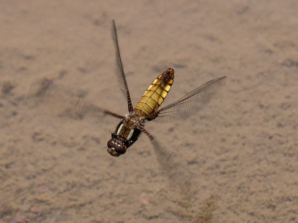 broad bodied chaser female