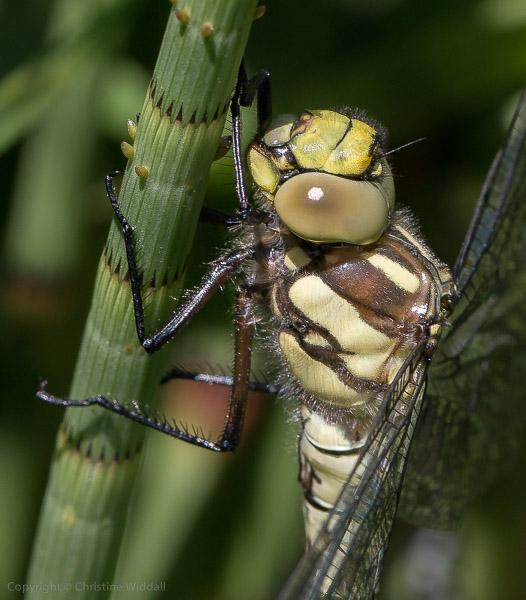 southern hawker dragonfly female head