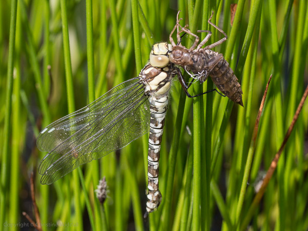 southern hawker dragonfly female with exuvia